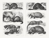 Martens (Mustelidae), wood engravings, published in 1897