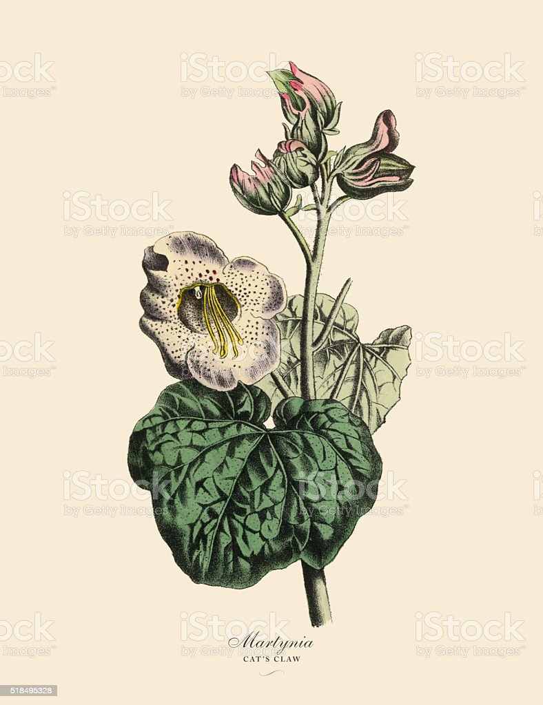 Martynia Or Cats Claw Plant Victorian Botanical Illustration Stock ...