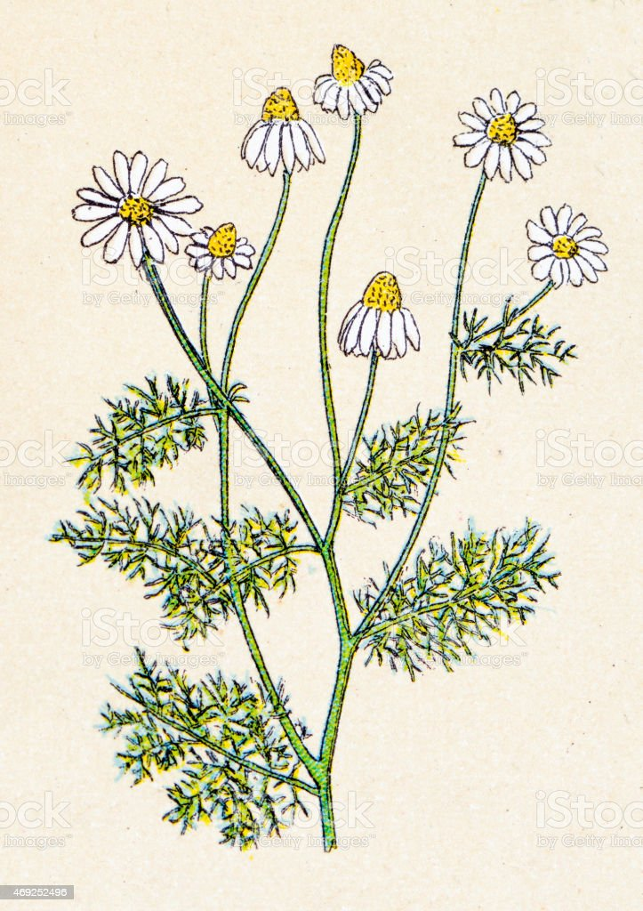 Matricaria chamomilla (Matricaria recutita), plants antique illustration vector art illustration