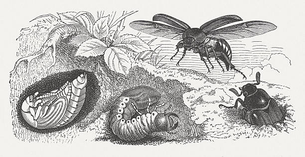 stockillustraties, clipart, cartoons en iconen met may bag (melolontha melolontha) and his larval stage, published 1882 - bargerecht