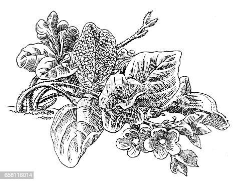 Ilustración de Mayflower Or Trailing Arbutus Or Epigaea Repens y más ...
