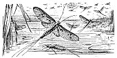 Illustration of a Mayfly insect
