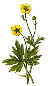 "Antique illustration of a Medicinal and Herbal Plants. \nillustration was published in 1887 ""botanical atlas\"
