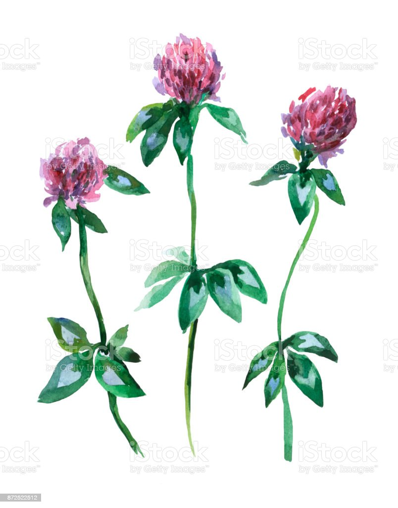 Meadow Pink Clover Trefoil Watercolor Hand Drawn Painting