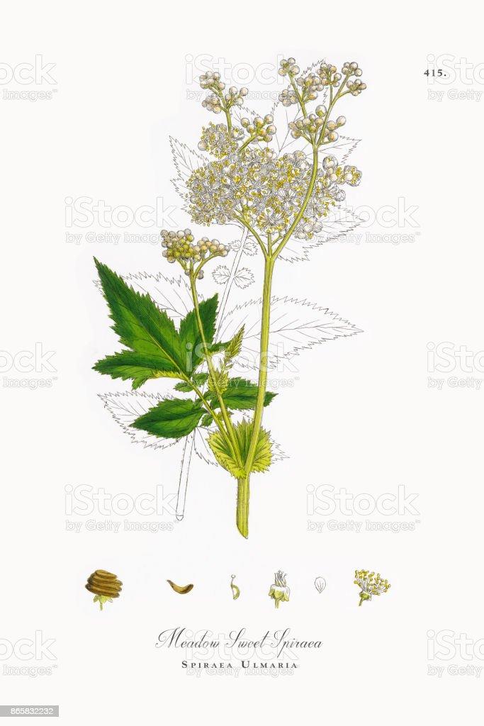 Meadow Sweet Spiraea, Spiraea Ulmaria, Victorian Botanical Illustration, 1863 vector art illustration