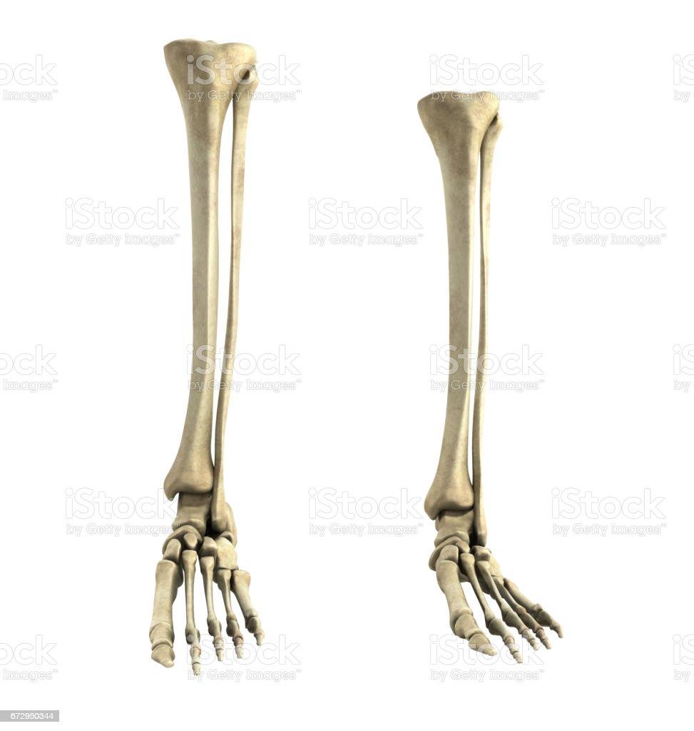 medical accurate 3d rendering  illustration of the foot bones vector art illustration