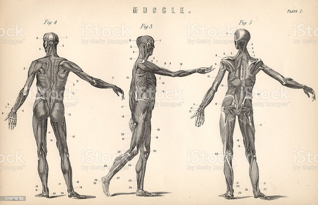 Human body musculature medical antique illustration royalty-free stock vector art