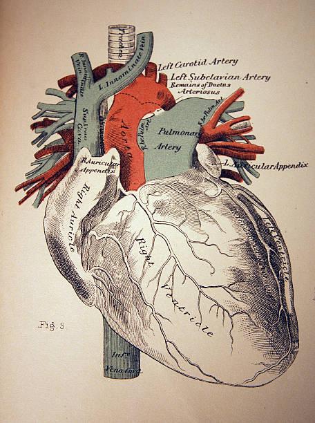 medical illustration of a heart - autopsy stock illustrations, clip art, cartoons, & icons