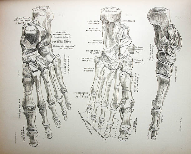 medical illustration of bones of a foot - autopsy stock illustrations, clip art, cartoons, & icons