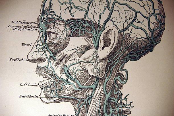 medical illustration of cerebral circulatory system - autopsy stock illustrations, clip art, cartoons, & icons