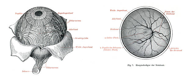 medical illustration of retina and eyeball 1896 - сетчатка stock illustrations