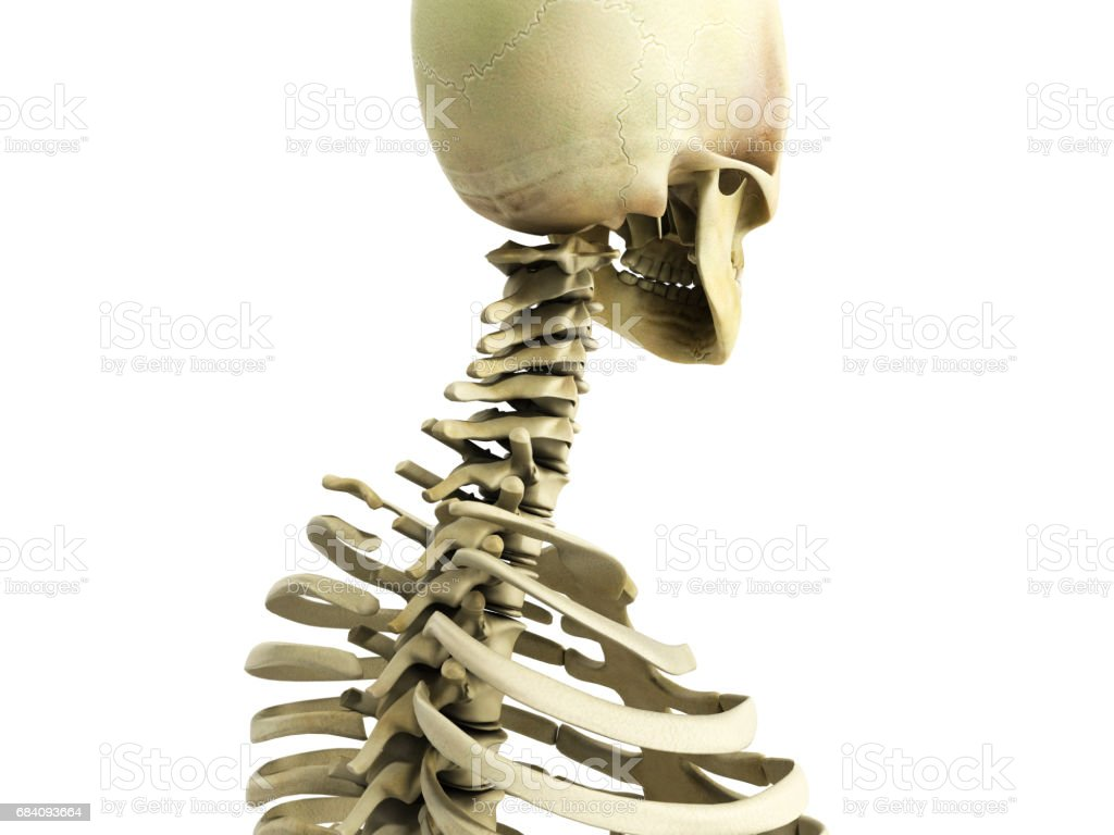 Medically Accurate 3d Illustration Of The Skeletal System Stock
