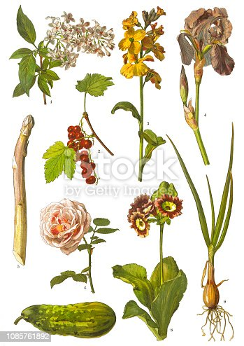 "Antique illustration of a Medicinal and Herbal Plants.  illustration was published in 1893 ""botanika i mineralogia atlas"