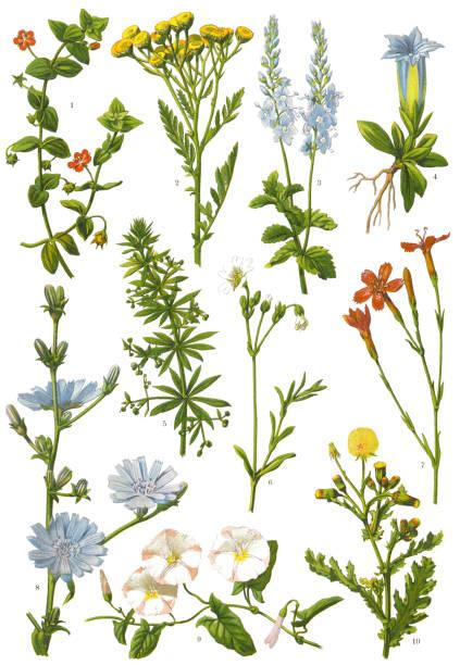 stockillustraties, clipart, cartoons en iconen met kruiden en planten - gentiaan