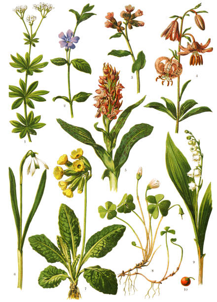 """Medicinal and Herbal Plants Antique illustration of a Medicinal and Herbal Plants.  illustration was published in 1893 """"botanika i mineralogia atlas"""" scan by Ivan Burmistrov  1. woodruff, sweet woodruff 2. lesser periwinkle, dwarf periwinkle 3. lungwort, common lungwort, Mary's tears 4. martagon lily, Turk's cap lily 5. Orchis mascula, the early-purple orchid 6. snowdrop or common snowdrop 7. cowslip, common cowslip, cowslip primrose 8. wood sorrel 9.10. Lily of the valley, sweetly scented lily of the valley stock illustrations"""