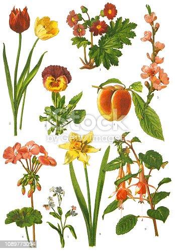 "Antique illustration of a Medicinal and Herbal Plants.  illustration was published in 1887 ""botanical atlas"