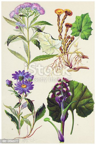 istock Medicinal and Herbal Plants 681966572