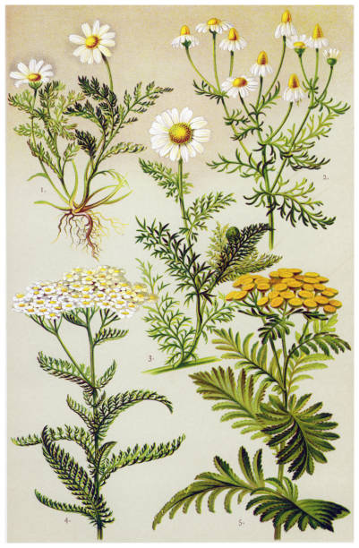 Medicinal and Herbal Plants Antique illustration of a Medicinal and Herbal Plants.  chamomile plant stock illustrations
