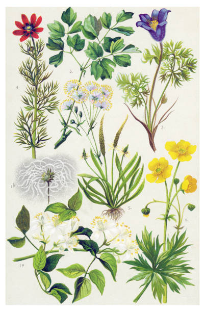 medicinal and herbal plants - wildflowers stock illustrations, clip art, cartoons, & icons
