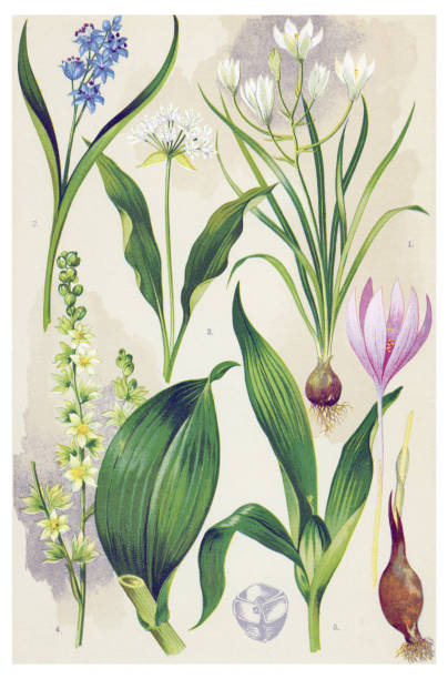 Medicinal and Herbal Plants Antique illustration of a Medicinal and Herbal Plants.  false hellebore stock illustrations