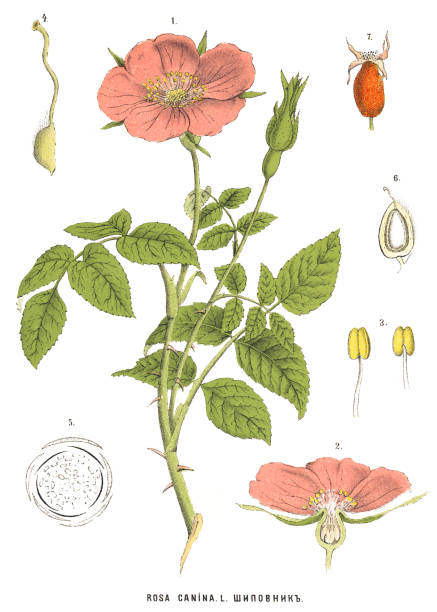 Medicinal and Herbal Plants Antique illustration of a Medicinal and Herbal Plants.  dog rose stock illustrations