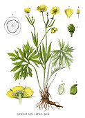 Antique illustration of a Medicinal and Herbal Plants.
