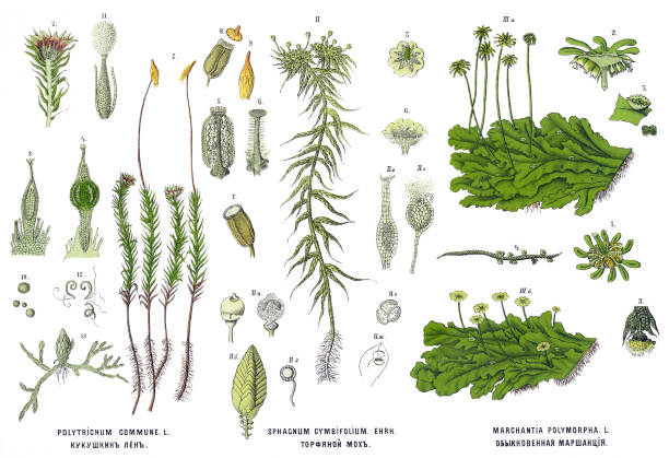 Medicinal and Herbal Plants Antique illustration of a Medicinal and Herbal Plants.  moss stock illustrations