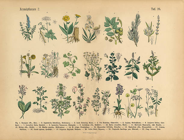 Medicinal and Herbal Plants, Victorian Botanical Illustration Very Rare, Beautifully Illustrated Antique Engraved Victorian Botanical Illustration of Wildflowers, Medicinal and Herbal Plants: Plate 26, from The Book of Practical Botany in Word and Image (Lehrbuch der praktischen Pflanzenkunde in Wort und Bild), Published in 1886. Copyright has expired on this artwork. Digitally restored. lavender plant stock illustrations