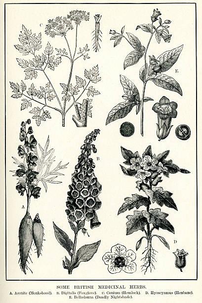 bildbanksillustrationer, clip art samt tecknat material och ikoner med medicinal herbs - amaryllis