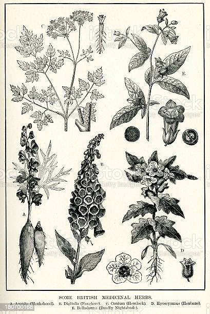 """Vintage engraving of Medicinal Herbs, including, Aconite (Monkshood), Digitalis (Foxglove), Conium (Hemlock), Hyoscyamus (Henbane) and Belladonna (Deadly Nightshade)."""