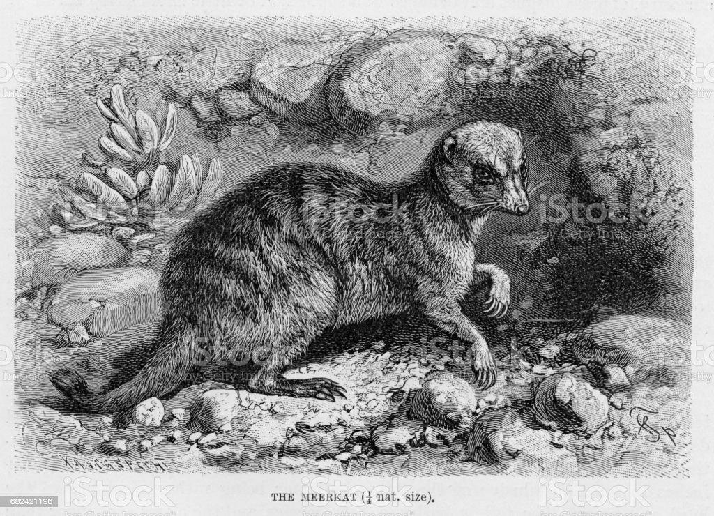 Meerkat engraving 1894 royalty-free meerkat engraving 1894 stock vector art & more images of animal