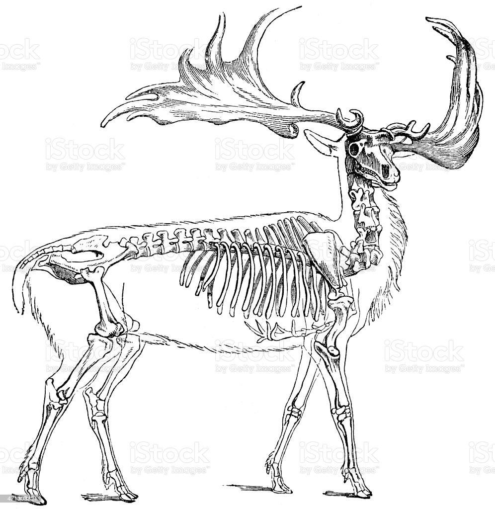 Megaceros vector art illustration
