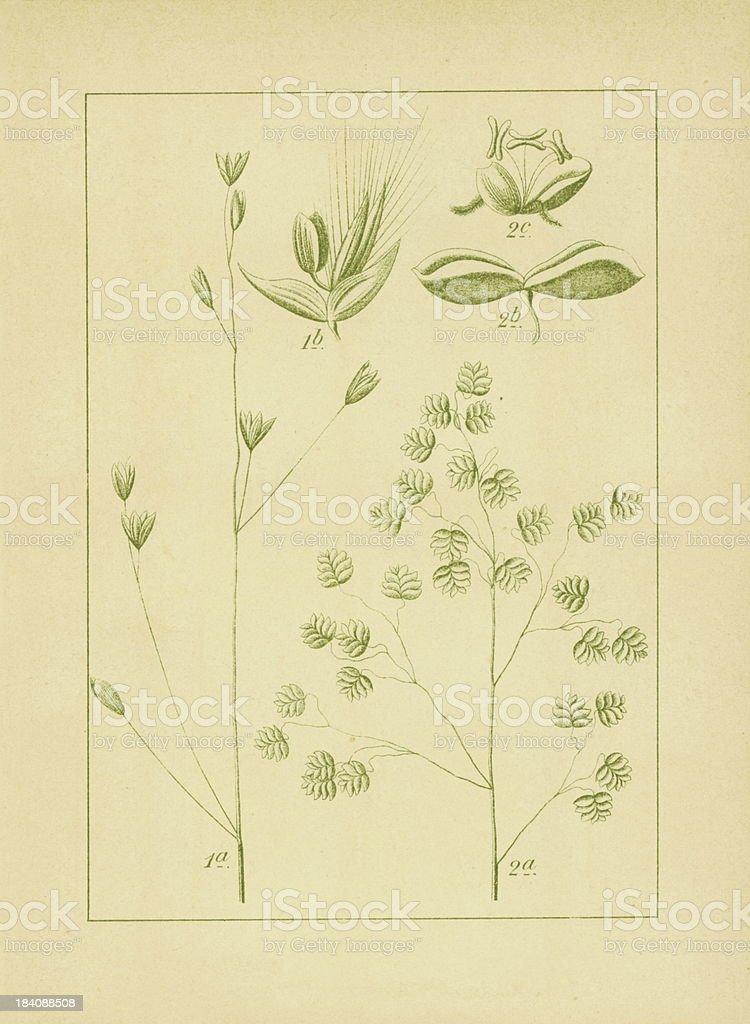 Melica uniflora and common quaking grass | Antique Flower Illust royalty-free melica uniflora and common quaking grass antique flower illust stock vector art & more images of 19th century