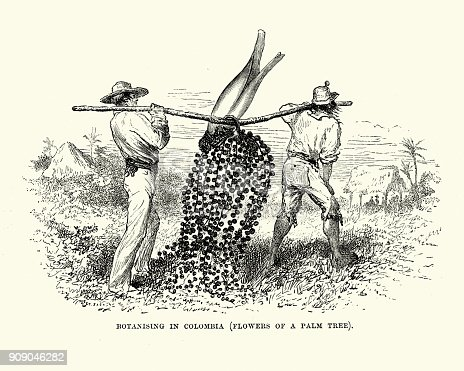 Vintage engraving of Men harvesting the flowers of a palm tree, Colombia, 19th Century