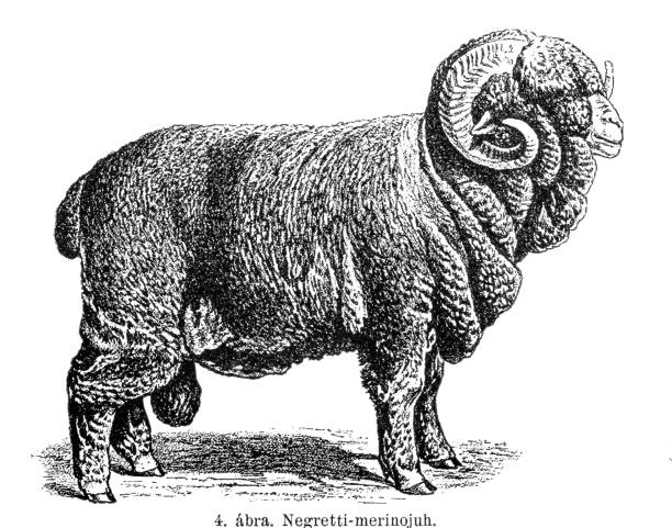 Merino sheep Electoral-Negretti Illustration of a Merino sheep Electoral-Negretti merino sheep stock illustrations
