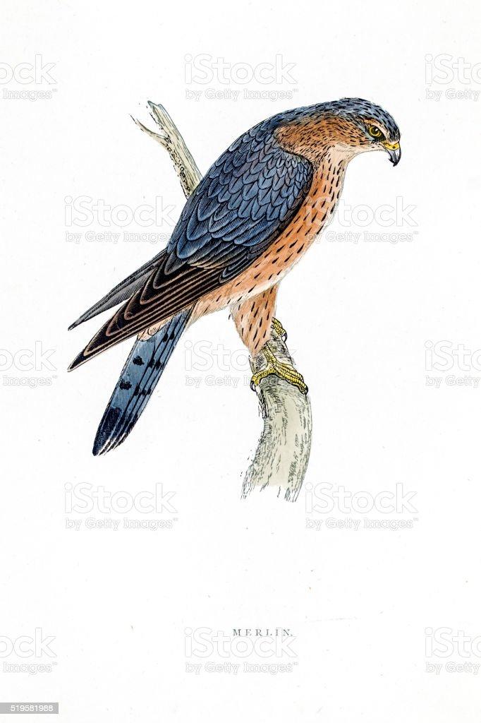 esmerilhão falcão pássaro ilustração do século 19 arte vetorial de