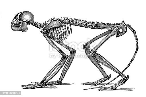 Illustration of a Mesopithecus is an extinct genus of Old World monkey that lived in Europe and Asia 7 to 5 million years ago. Mesopithecus resembled a modern macaque, with a body length of about 40 centimetres