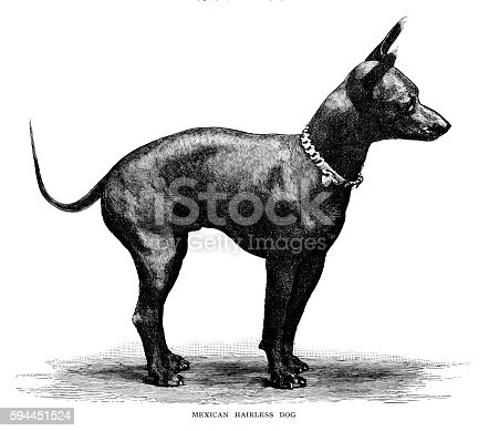Mexican hairless dog - Scanned 1886 Engraving