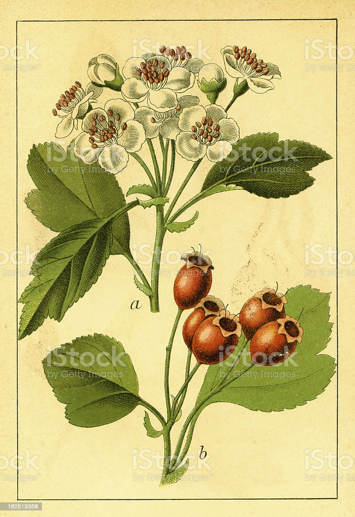 Midland hawthorn | Antique Flower Illustrations royalty-free midland hawthorn antique flower illustrations stock vector art & more images of 19th century