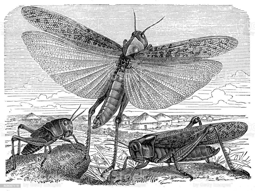 Migratory Locust (Locusta migratoria) vector art illustration