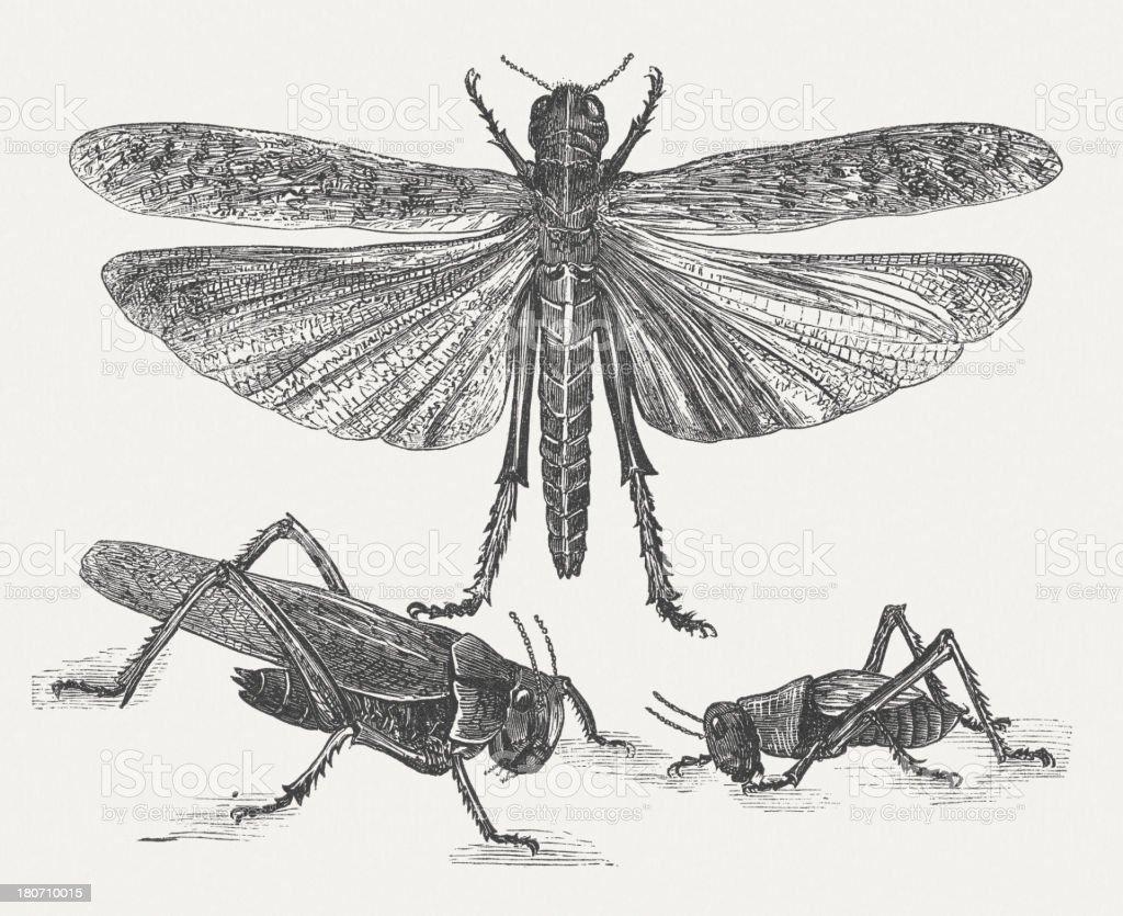 Migratory locust (Locusta migratoria), wood engraving, published in 1875 vector art illustration