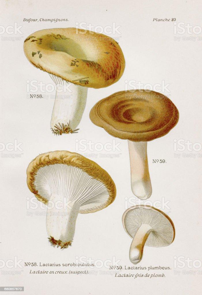 Milk caps mushroom 1891 royalty-free milk caps mushroom 1891 stock vector art & more images of antique