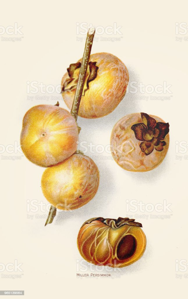 MIller persimmon illustration 1892 royalty-free miller persimmon illustration 1892 stock vector art & more images of 19th century style