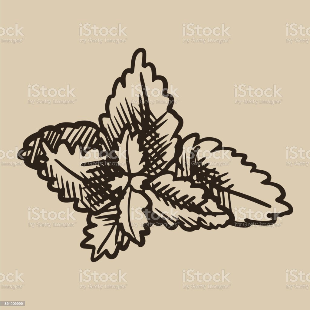 Mint leaves engraving. Fresh, natural aromatic additive to tea in sketch style. Vector illustration royalty-free mint leaves engraving fresh natural aromatic additive to tea in sketch style vector illustration stock vector art & more images of archival