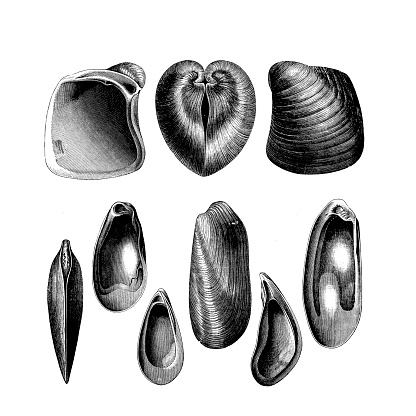 Miocene fossil is extinct genus of marine oysters