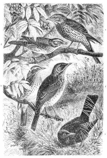 ilustrações de stock, clip art, desenhos animados e ícones de mistle thrush, turdus viscivorus, redwing, turdus iliacus, song thrush, turdus philomelos, fieldfare, turdus pilaris, blackbird - song thrush