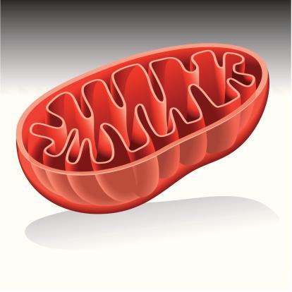 Mitochondrion