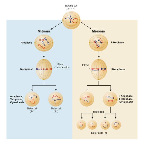 illustrazioni stock, clip art, cartoni animati e icone di tendenza di mitosis and meiosis differences - tetrade