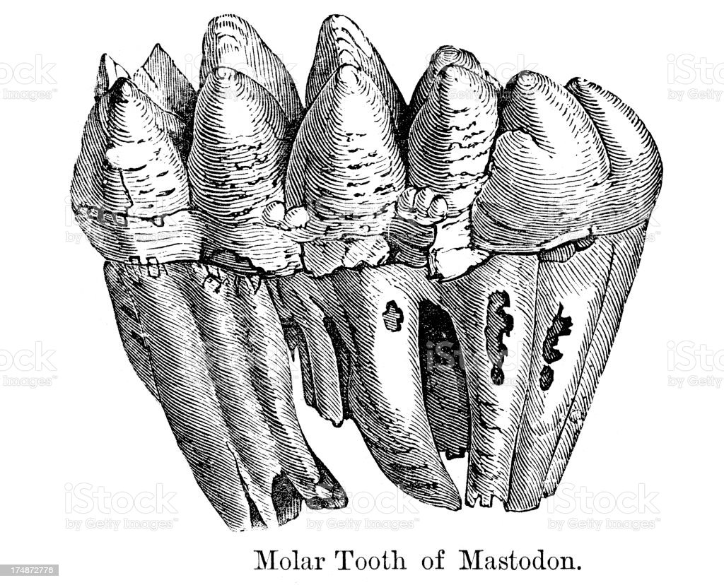 Molar Tooth of a Mastodon royalty-free molar tooth of a mastodon stock vector art & more images of ancient history