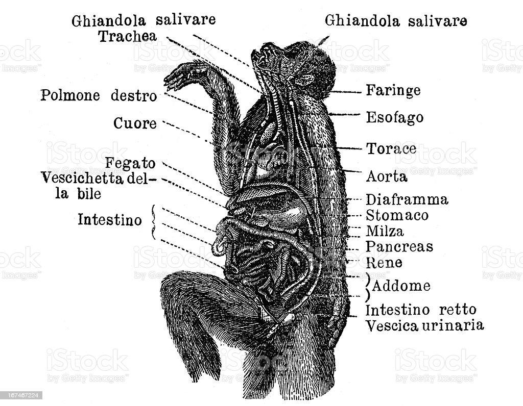 monkey digestive system diagram gallery
